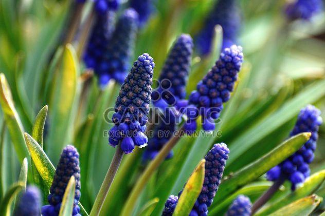 Blue Muscari flowers - Free image #271961
