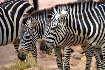Zebras in the zoo - image #271991 gratis