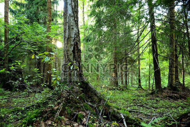 Old tree in forest - Free image #272511