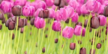 Pink and black tulips - Free image #272911