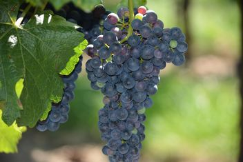 Organic black Grapes - image gratuit #272921