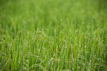 Rice Field - Free image #272931