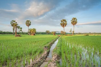 Rice fields - image #272961 gratis