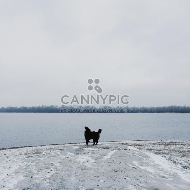 Sennenhund near winter river - Free image #272981