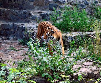 Tiger - image gratuit #273611