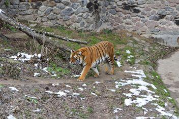Ussuri tiger - image #273621 gratis