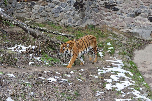 Ussuri-tiger - Kostenloses image #273621