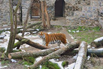 Ussuri tiger - image #273631 gratis