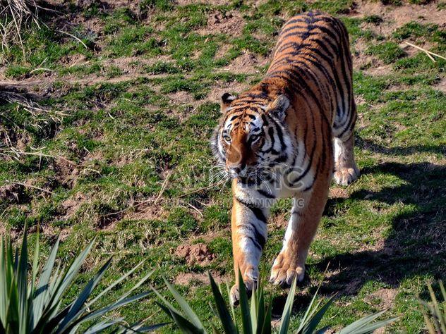 Tigre - image #273661 gratis