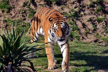 Tiger - image gratuit #273671