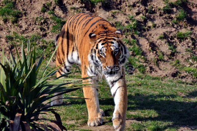 Tiger - Free image #273671