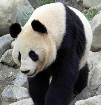 panda - Free image #275441