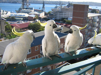 Cockatoos at breakfast - image #275451 gratis