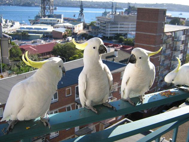 Cockatoos at breakfast - Free image #275451