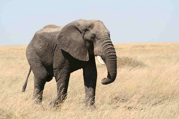 Elephant - Free image #275561