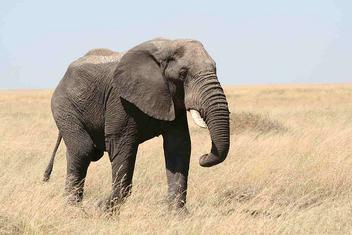 Elephant - image #275561 gratis