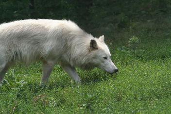 Stalking Arctic Wolf - image #275631 gratis