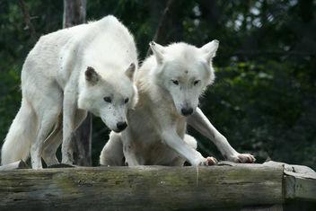 Arctic Wolf Pair - бесплатный image #275811