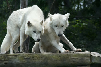 Arctic Wolf Pair - Kostenloses image #275811