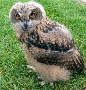 Baby European Eagle Owl - Free image #276371