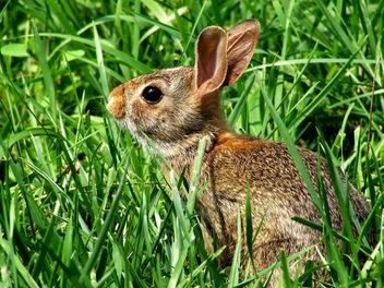 Wild Rabbit - image gratuit #276431