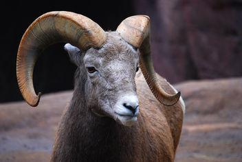 Bighorn sheep - бесплатный image #276721