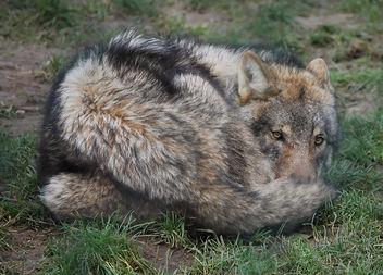 Wolf - image #276751 gratis