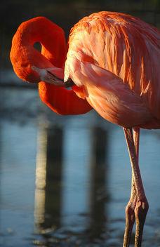 Flamingo - Free image #276791