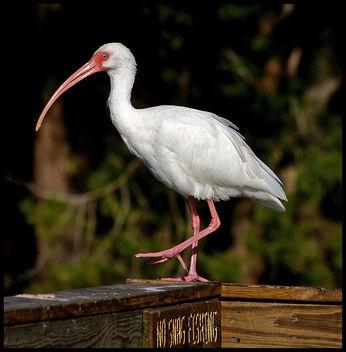 White Ibis - Free image #276821