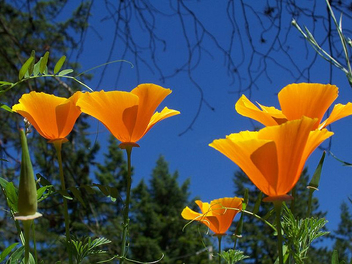 Group of California Poppy - image #276881 gratis