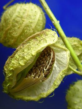 Milk weed seeds - Kostenloses image #277611