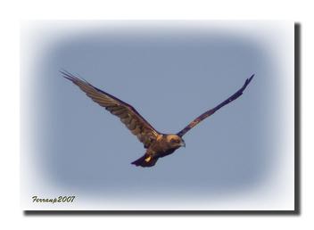 arpella vulgar 12 - aguilucho lagunero - marsh harrier - circus aeruginosus - Free image #277721