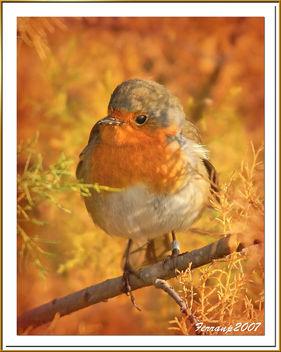 pit-roig 02 - petirrojo - robin - erithacus rubecula - Free image #277821