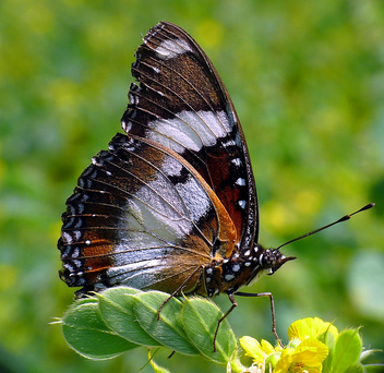 Great Eggfly - image gratuit #277861
