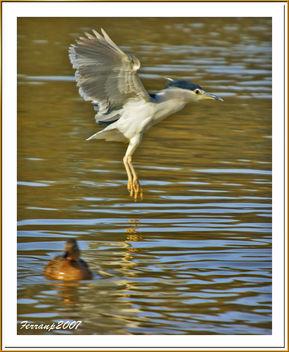 martinete en vuelo 05 - martinet de nit volant - nigth heron in fligth - nycricorax nycticorax - Free image #277881