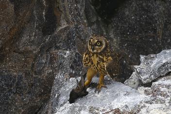 Short-eared Owl (Asio flammeus) & Wedge-rumped Storm Petrel (Oceanodroma tethys) - Kostenloses image #277901