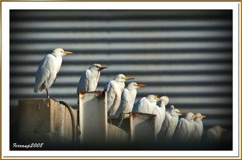 Esplugabous 06 - Garcilla bueyera - Cattle egrett - bubulcus ibis - image #277951 gratis