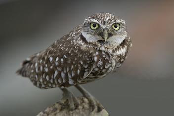 Burrowing Owl (Athene cunicularia) - image #278011 gratis