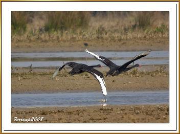 pareja de cisnes negros 05 - Black Swan - cygnus atratus - image gratuit #278031