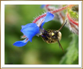 abeja libando una borraja 03 - bee sucking a borage flower - abella libant una borraina - Free image #278131