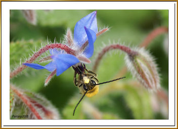 abeja libando una borraja 02 - bee sucking a borage flower - abella libant una borraina - бесплатный image #278141