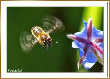 abeja libando una borraja 06 - bee sucking a borage flower - abella libant una borraina - Free image #278161