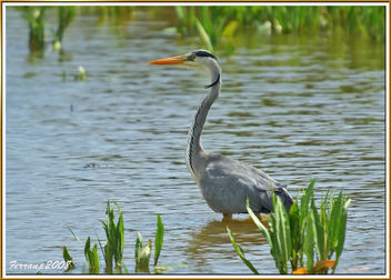 Bernat pescaire pescant 01 - Garza real pescando - Grey heron fishing - Ardea cinerea - image gratuit #278261