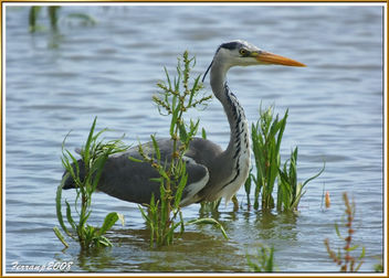 Bernat pescaire pescant 09 - Garza real pescando - Grey heron fishing - Ardea cinerea - image gratuit #278281