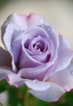 Rose in Violet - image gratuit #278431