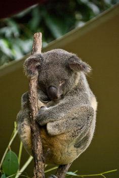 Koala Bear - Kostenloses image #278541