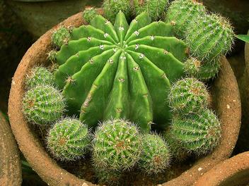 cactus plant - Free image #278631