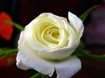 white rose - image gratuit #278671