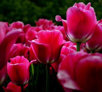 Tulips - image #278831 gratis