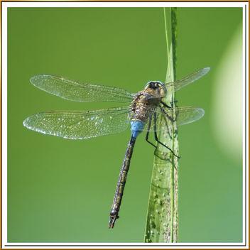 libelula en azul y pulgones - Free image #279021